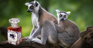 Luminous Lemurs: A New Eco-Perfume to Help Save Habitats